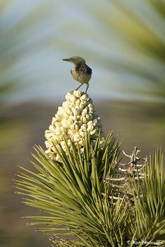 A desert bird perches on a Joshua Tree bloom, Mojave Desert, California  Yucca brevifolia
