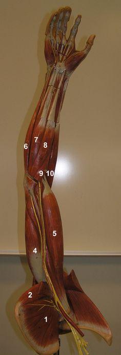 Anterior Arm