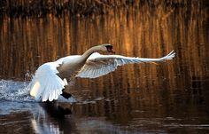 mute swan backround - Full HD Wallpapers, Photos by Radburn Brook (2017-03-16)
