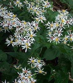 Aster divaricatus (White wood aster). Dry shade, Sept and October, two to three feet high. White and pale pink. Black stems.