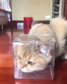 Cats can be Disney Princesses too, given the right circumstances. Cats can be Disney Princesses too, given the right circumstances. Funny Animal Videos, Cute Funny Animals, Funny Animal Pictures, Cute Baby Animals, Animals And Pets, Funny Cats, Cute Kittens, Cats And Kittens, Chat Kawaii