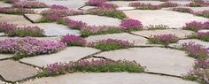 """CREEPING THYME - 1) Ground Cover that is tolerable to being walked on 2) Aromatic 3) Height 2 - 4"""" with a 12 - 24""""+ width 4) Will grow in shade/part shade/sun but will flower more in the full sun 5) Blooms spring - summer"""
