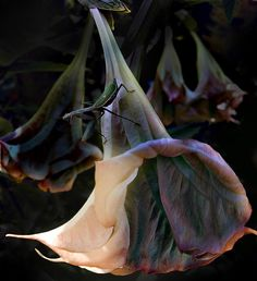 Trumpet Flower Photograph  - Trumpet Flower Fine Art Print by Rob Outwater on fineartamerica.com.    Very impressive photo.