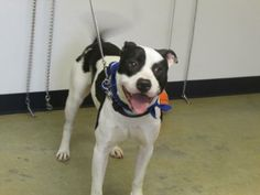 Hi there, my name is Hank. I came to the shelter as a stray on 1/14/14. I am a big, loveable goof. As you can see from my pictures, I am a happy boy and I am a lot of fun. I am young and energetic and very affectionate. Come in on and let's get...