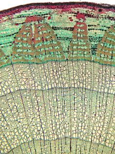 Cross-section of a stem of basswood @Katie Crone Isn't this badass? I know you'll enjoy this. Tree lovin, down to the microscopic detail. I had a hard time not pinning this in the art folder.