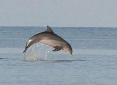 Dolphin jumping out of the ocean