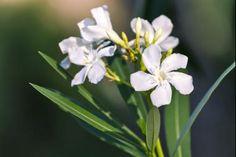 Oleandro 'White'  Il Nerium oleander o oleandro è un arbusto mediterraneo persistente, molto apprezzato per la sua graziosa fioritura colorata estiva. Nel nostro webshop puoi trovare una buona gamma di colori disponibili che doneranno alla tuo giardino un bellissimo aspetto. Il Nerium oleander ha un portamento compatto molto adatto per formare siepi. Le foglie del Nerium oleander sono lanceolate di color verde medio.