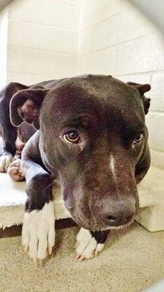 1/23/15-This sad sweet girl needs a miracle to get out of the shelter. She's a black little pit bull, she's terrified and won't pick her head up and she's in the last kennel of the row where she is easily overlooked. #A4792969 I'm an approx 2 yo female pit bull. I am not yet spayed. You can visit me at my temporary home at C224. Carson Shelter, 216 Victoria Street, Gardena, California