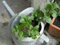 When used diluted in the bath, spearmint oil helps with headaches, migraines, stress, fatigue, sinusitis, asthma, bronchitis, and nervous conditions. When used in a cream or lotion it can help for itching - especially in cases when scabs have formed, helps the skin and to a lesser degree acne as well.