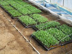 chili (pepper).  seedling.