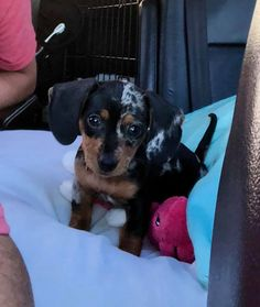 Our baby Twixy Dachshund Funny, Baby Dachshund, Dapple Dachshund, I Love Dogs, Puppy Love, Cute Dogs, Funny Videos, Animals And Pets, Cute Animals