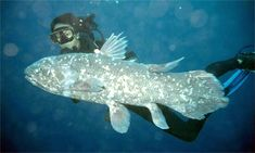 Genetic sequencing of prehistoric fish could reveal how animals evolved to live on land