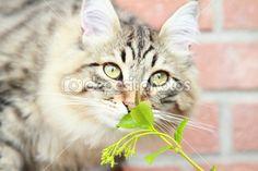 new on @depositphotos - #brown #male #kitten of #siberian #breed