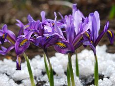 Flowers that bloom in the winter: Irises
