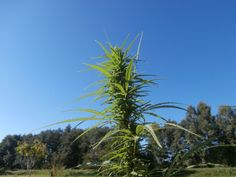 Wild local autoflowering plant flowering earlier than any other strains!