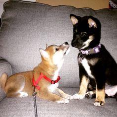 SHIBA INU puppies Kona and Kit. The best little doggies!