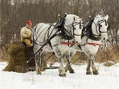 Percheron Draft Horse Team - I knew a guy up north with a team like this! Beautiful...