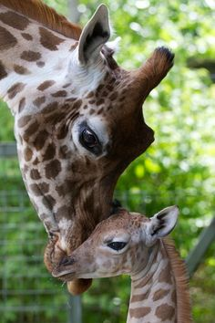 Momma and Baby Giraffe, #cute, #animals I LOVE Giraffes... they remind me to Keep My Head Up.