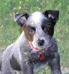 cattle dog pup