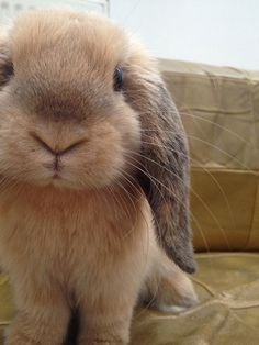 Adorable little lop bunny.