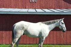 George's Texas Bars (Armani) is a 15.3h, 6 yo gray registered quarter horse gelding.  He is nicely broke both hunt seat and western and has competition miles as a hunter jumping 2'3 last season.  Rides quietly for every type of rider who gets on his back.
