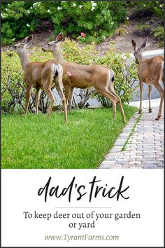 Dad's trick to keep deer out of your yard and garden deer diy gardening tyrantfarms is part of Deer garden - Deer Resistant Landscaping, Deer Resistant Garden, Deer Garden, Lawn And Garden, Garden Fun, Garden Care, Terrace Garden, Garden Spaces, Garden Pests