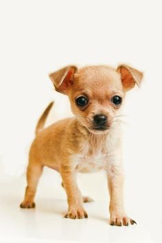 Super cute chihuahua ;)