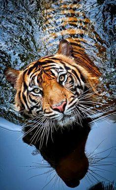 ~~Tiger in water by Robert Cinega~~