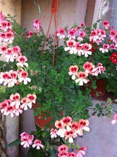 Pelargonium Angel eyes - Orange