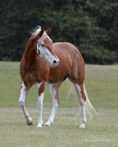 sunwendyrain:  most beautiful badger face paint horse