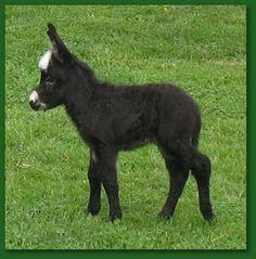 Elms Farm Miniature Donkeys  donkeys.net