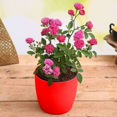 Celebrate the special women in your life! Plan a unique green gift and thank them for their extraordinary role in your life. Visit our website to shop these women's day special gifts today! Lucky Bamboo Plants, Decorative Pebbles, Pink Plant, Plastic Planter, Rose Gift, Planting Roses, Free Plants, Flowering Shrubs, Blooming Flowers
