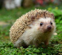 Intelligente come i criceti, il riccio di terra è un ottimo animale da compagnia, scelto ogni giorno da sempre più persone.