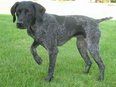 awesome pointer dog