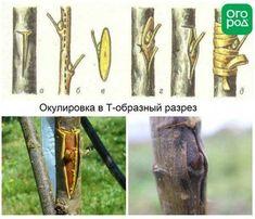 Прививка яблони методов окулировки позволяет экономить посадочный материал