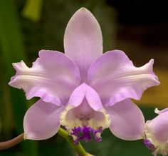 Artificial Flower Arrangements, Artificial Flowers, Rare Flowers, Beautiful Flowers, Cattleya Orchid, Amazing Wedding Cakes, Blue Orchids, Lush, Flora