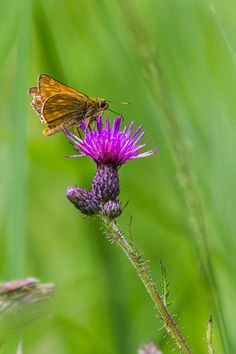 Large Skipper butterfly on a flower.  Enjoy my other images of nature in full size by clicking on the thumbnail.  They are also available to buy in a variety for formats or as a digital download without the watermark. #norfolkbroads #butterfly