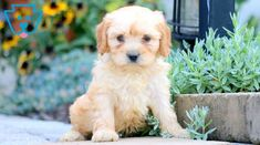 Paxton | Cavachon Puppy For Sale | Keystone Puppies Puppies For Sale, Dogs And Puppies, Cavachon Puppies, Design Development, Animals, Animales, Animaux, Animal, Animais