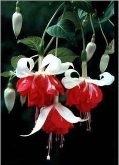 """Fuchsia """"Veenlust"""""""