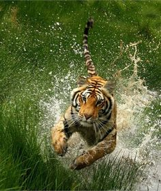 """Tiger: """"Leaping out of the water!""""                              …"""