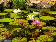 "Tropical water lilies are referred to as ""tropicals"" because of their dislike for cold weather. Like annual plants in your garden beds, tropical water lilies die off in the winter and need to be replaced the following pond season. Even so, the"