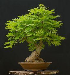 European common ash~ #Bonsai tree  ☼●Don't you simply love this beautiful tree.●☺ #BonsaiInspiration