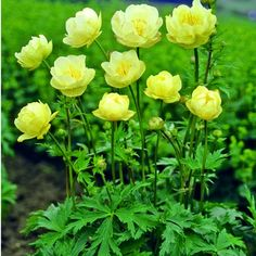 Trollius 'Alabaster' (Globe Flower).  With gorgeous delicate yellow springtime flowers, it is one of my favorite shade plants. Hardy in zones 3-9. Perennial.
