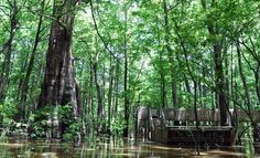 There's no denying it; this place is absolutely wonder-ful! Bald Cypress Tree, Cypress Swamp, Cypress Trees, Adventure Town, Chautauqua Park, Thing 1, Natural Wonders, Day Trips, Mississippi