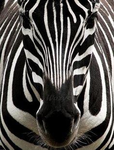 Zebra, beautiful