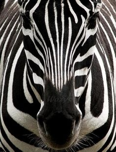 Zebra, beautiful
