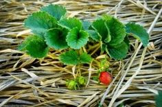 winter care for strawberries