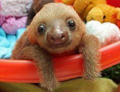 Mládě lenochoda bylo nalezeno v Kostarice.