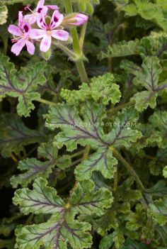 Pelargonium 'Village Hill Oak' (Balsam scented geranium)
