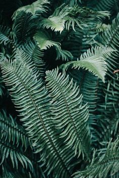 The curved lines of the fern are very inspiring. I like how ferns can be seen as modern/tropical as well as woodsy/forest like. Flora Und Fauna, Plants Are Friends, No Rain, The Secret Garden, Green Plants, Large Plants, Go Green, Lush Green, Shades Of Green